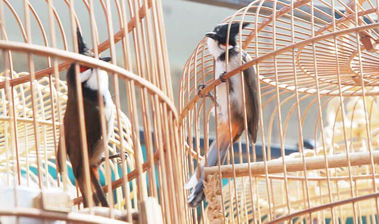 Cho chim đi thi đấu sẽ khiến chim dạ dĩ hơn