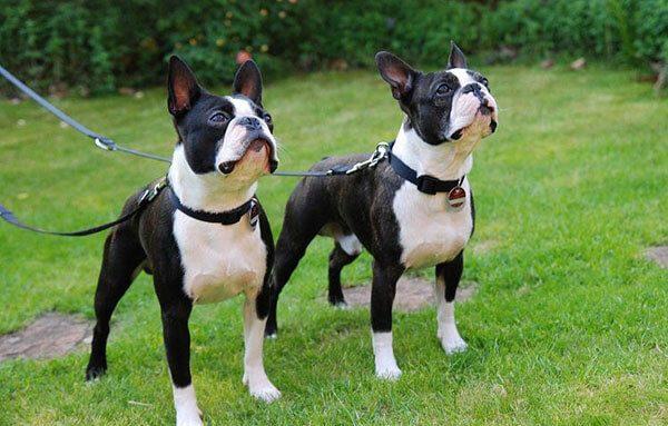 Chó Boston Terrier