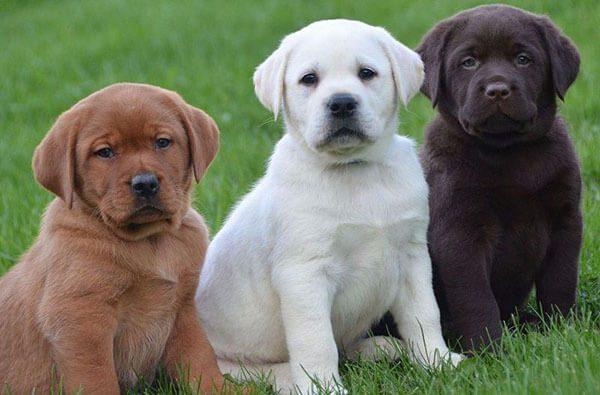 Giá Chó Labrador Retriever