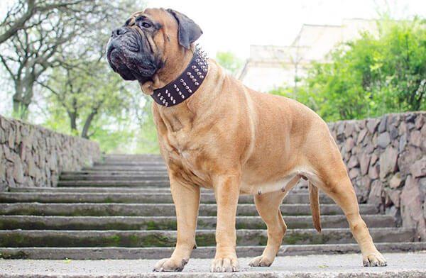 Chó Ngao Bò