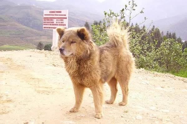 Chó Bắc Hà