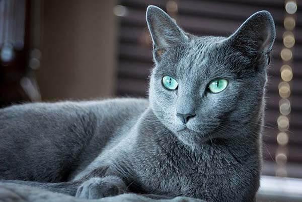 Mèo Nga Đẹp