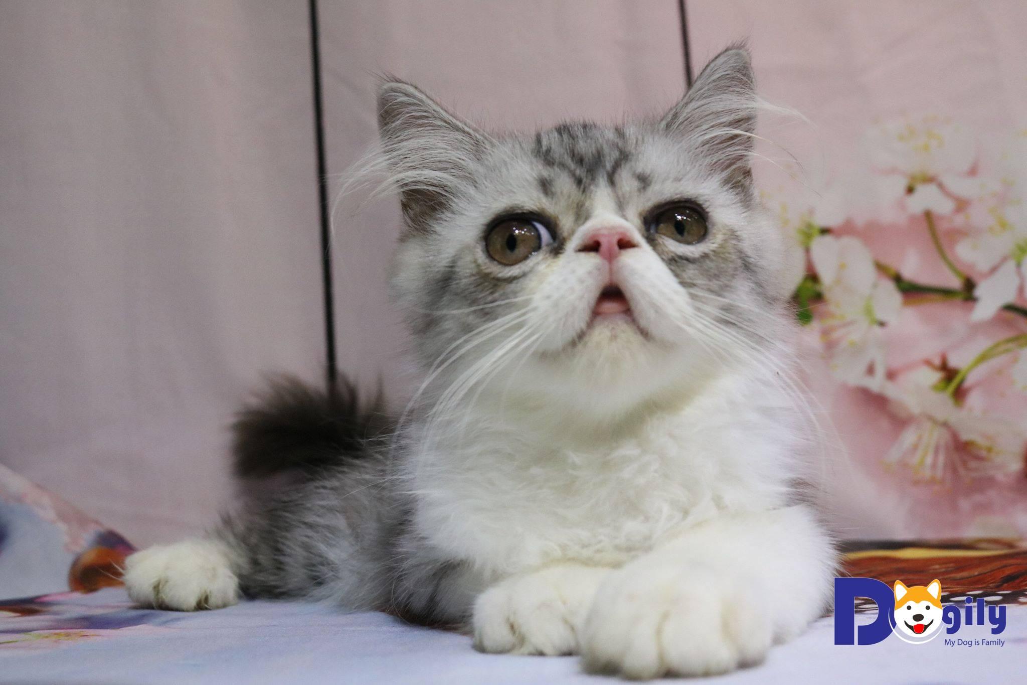 Bán mèo Exotic Dogily Petshop