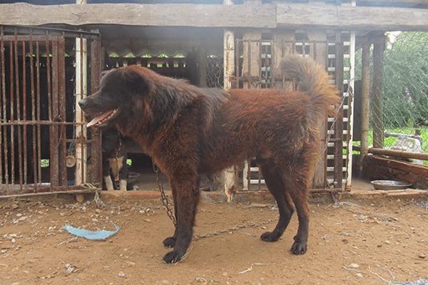 Chó Bắc Hà khá dễ nuôi