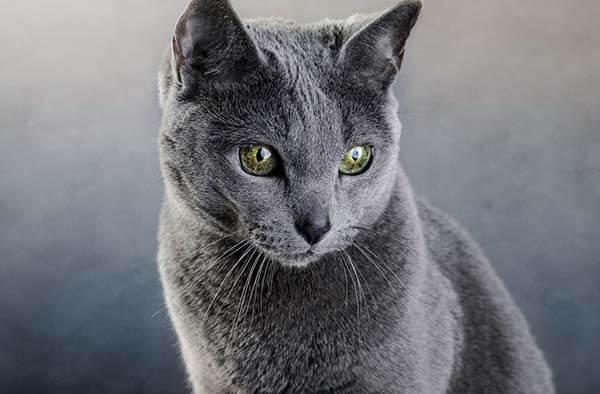 Mèo Nga