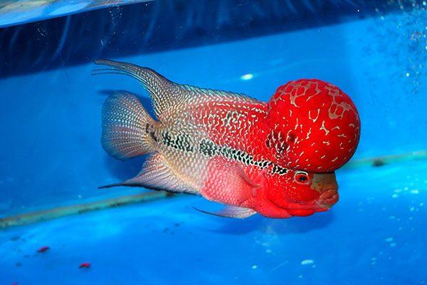 Cá La Hán