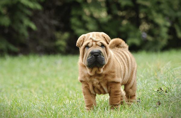 Chó Sar Pei