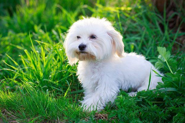 Chó Maltese