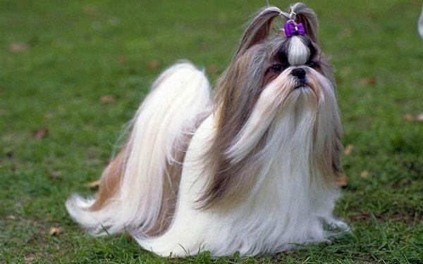 Chó Shih Tzu