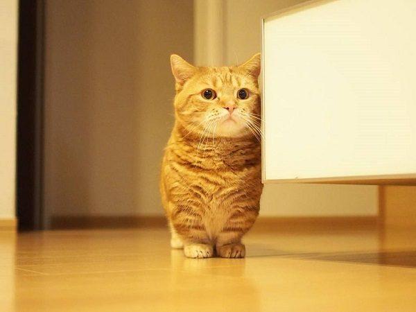 Mèo Munchkin - mèo chân ngắn