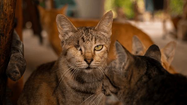 Mèo Bị Mù Lòa