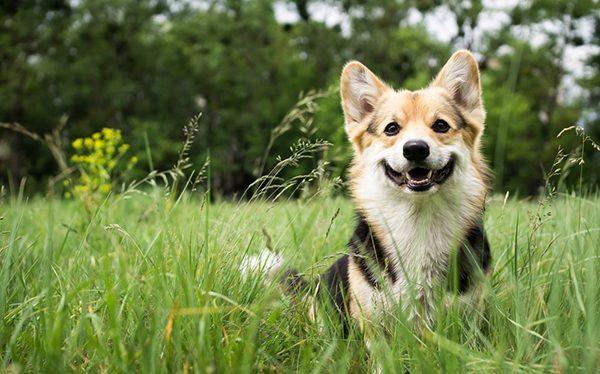Xổ giun cho chó giúp chúng khỏe mạnh và ăn tốt.