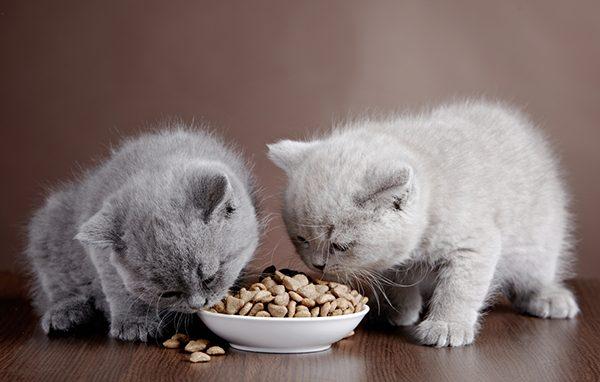 Mèo con ăn gì