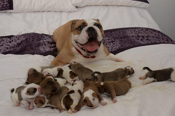 Chăm sóc chó mẹ sau sinh