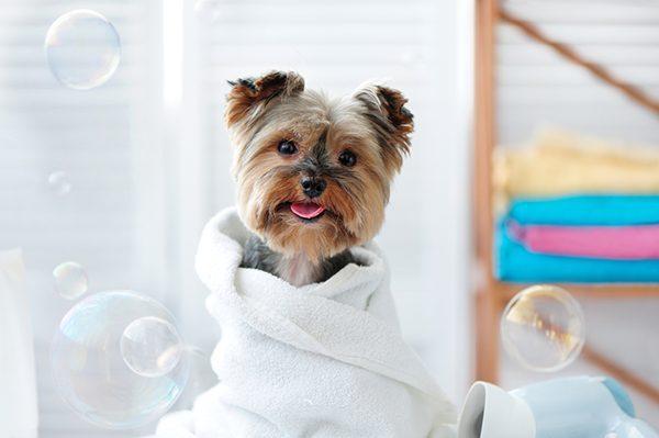chăm sóc chó bị viêm da