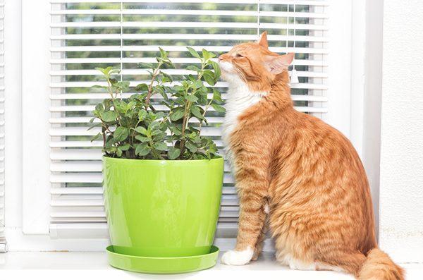 Cỏ bạc hà mèo