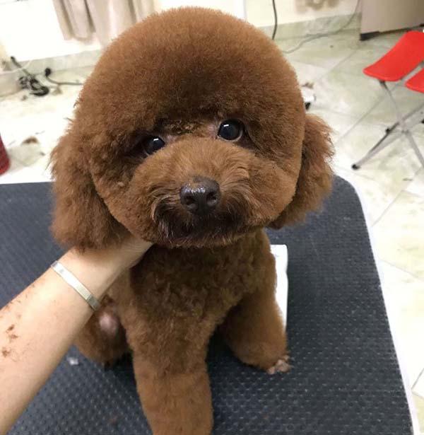 chó Poodle kiểu chó con