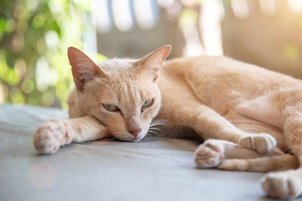 Chăm sóc mèo mang thai