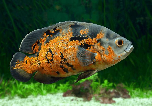 Cá Heo Lửa