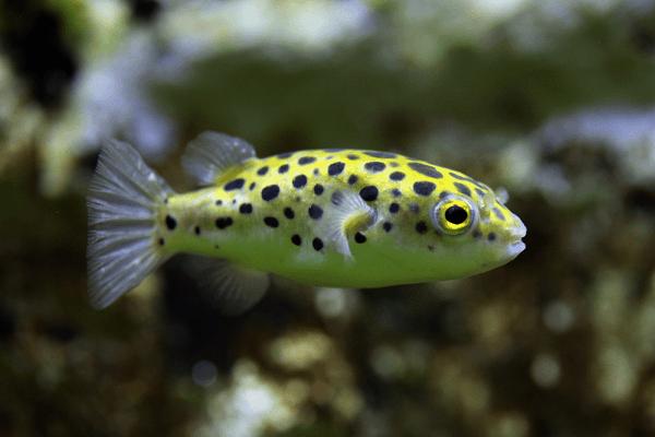 Cá nóc cảnh