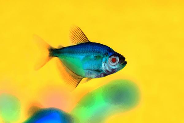 Cá cánh buồm