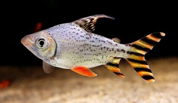 Cá Kim Sơn