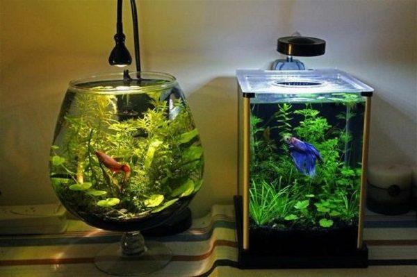 nuôi cá cảnh trong chậu thuỷ tinh