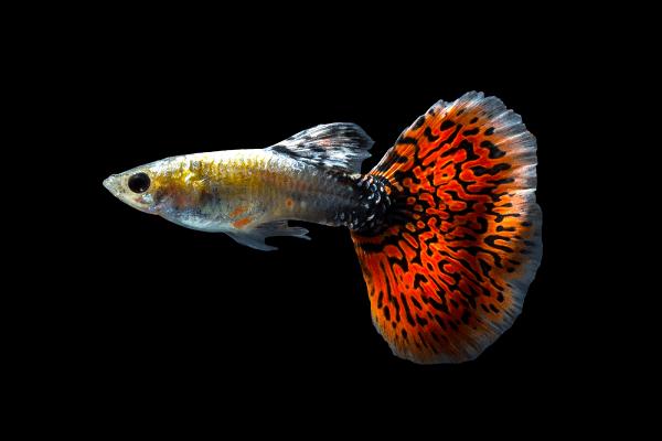 cách ép cá bảy màu đẻ