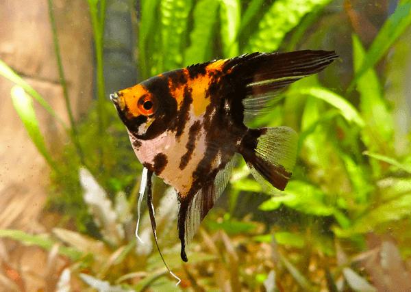 Cá Thần Tiên