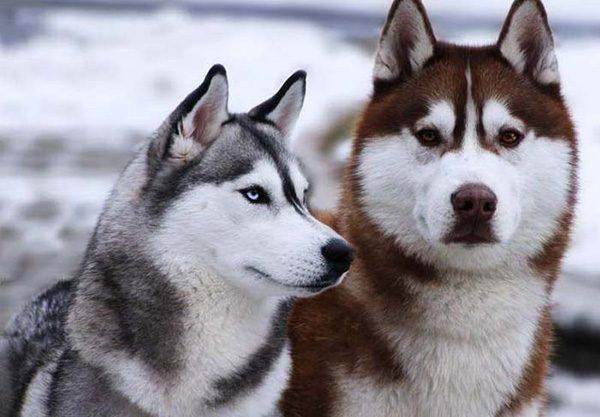 Alaska và husky