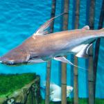 Cá mập nước ngọt