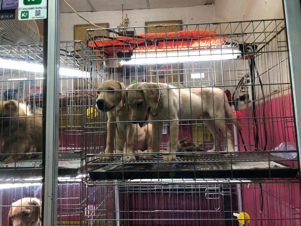 mua bán chó cảnh ở HCM