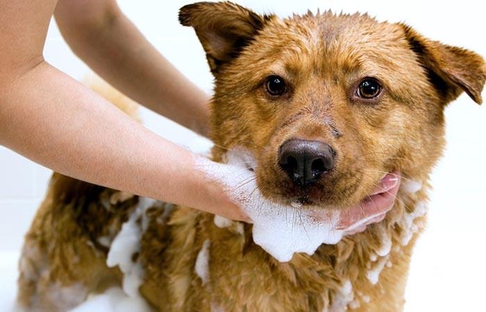 Vệ sinh sạch sẽ cho chó mới đẻ xong tránh nhiễm bệnh
