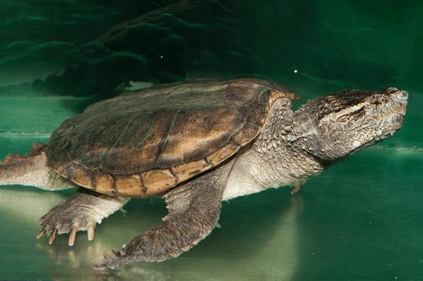 Các Loại Rùa Nước Ngọt