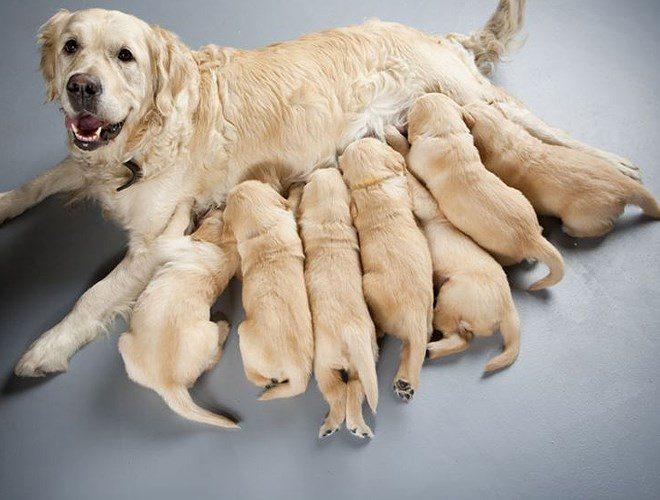 Chó mẹ sau sinh cần được chăm sóc tốt để có sữa nuôi con