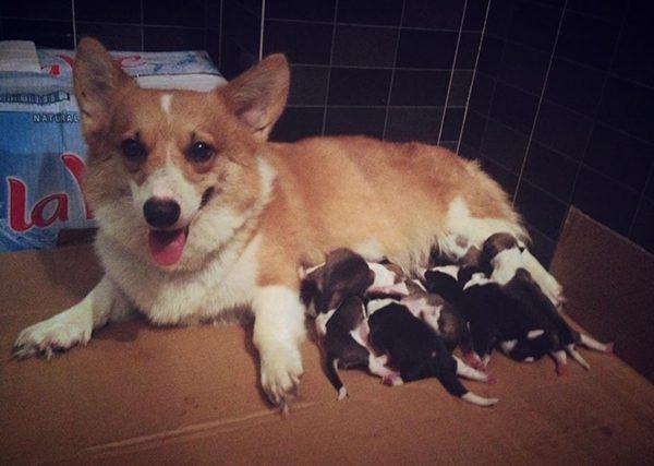 Chó mẹ sau khi sinh xong