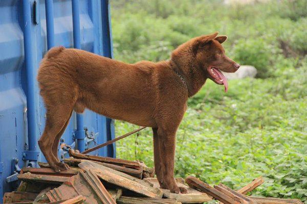 Chó Mông Cộc