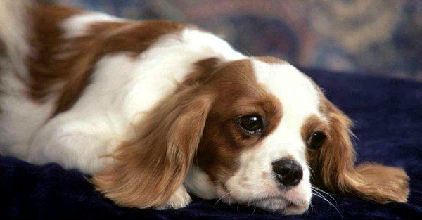 Cún cưng bỏ ăn trong giai đoạn đầu thai kỳ là biểu hiện sinh lý bình thường