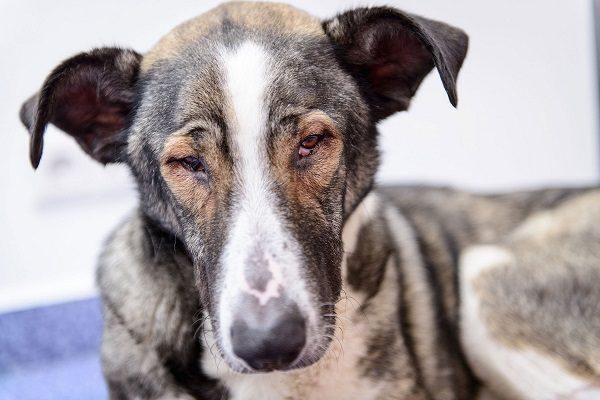 Chó Bị Đau Mắt