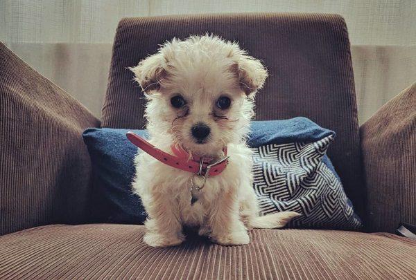 Chó Chihuahua Lai