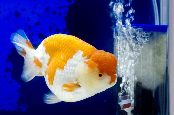 Cá vàng Ranchu