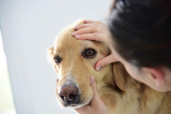 Chó Bị Đau Mắt, Chó Bị Chảy Nghèn Ở Mắt