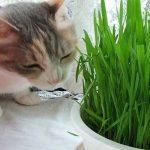 Cỏ mèo tươi tốt nhất